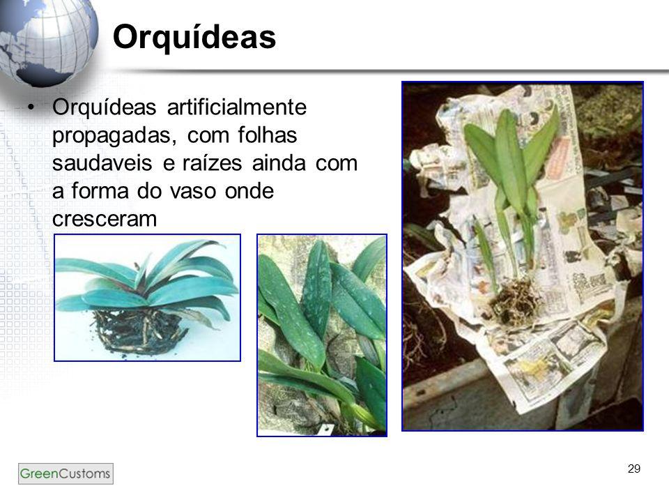 Orquídeas Orquídeas artificialmente propagadas, com folhas saudaveis e raízes ainda com a forma do vaso onde cresceram.