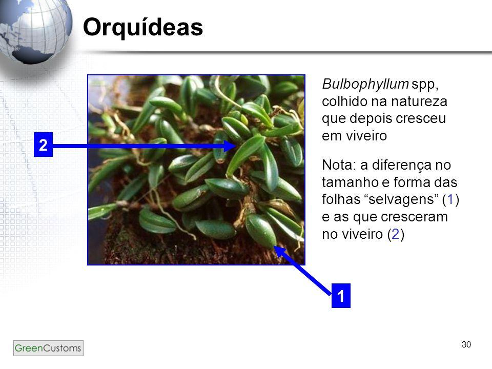 Orquídeas Bulbophyllum spp, colhido na natureza que depois cresceu em viveiro.