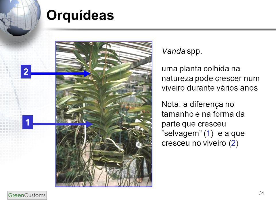 Orquídeas Vanda spp. uma planta colhida na natureza pode crescer num viveiro durante vários anos.