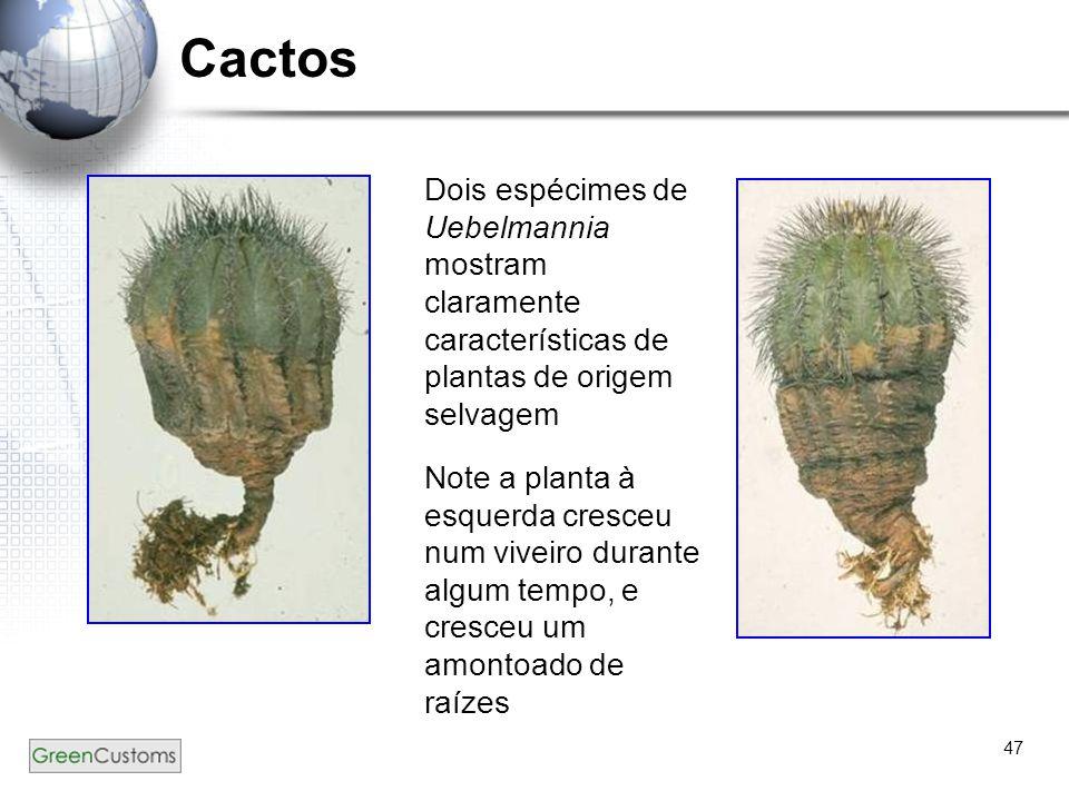 Cactos Dois espécimes de Uebelmannia mostram claramente características de plantas de origem selvagem.
