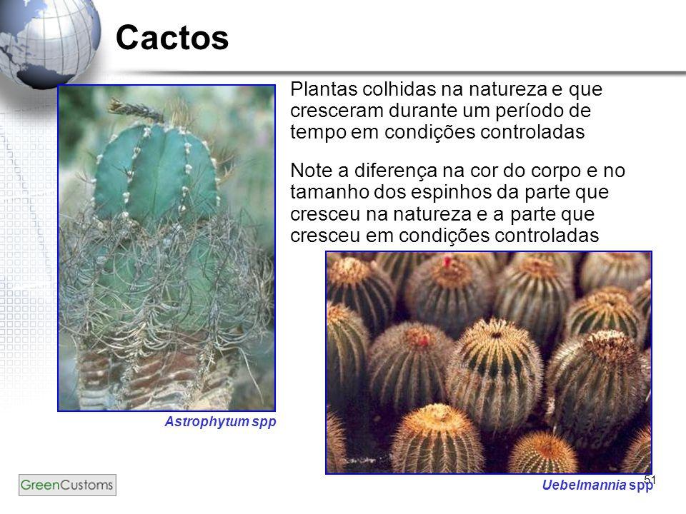 Cactos Plantas colhidas na natureza e que cresceram durante um período de tempo em condições controladas.