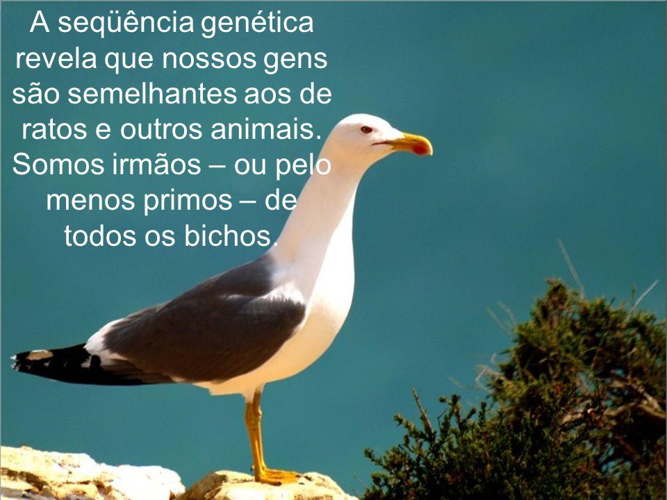 A seqüência genética revela que nossos gens são semelhantes aos de ratos e outros animais.