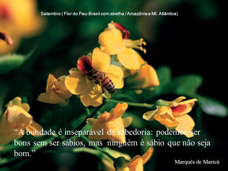 Setembro ( Flor do Pau-Brasil com abelha / Amazônia e Mt. Atlântica)