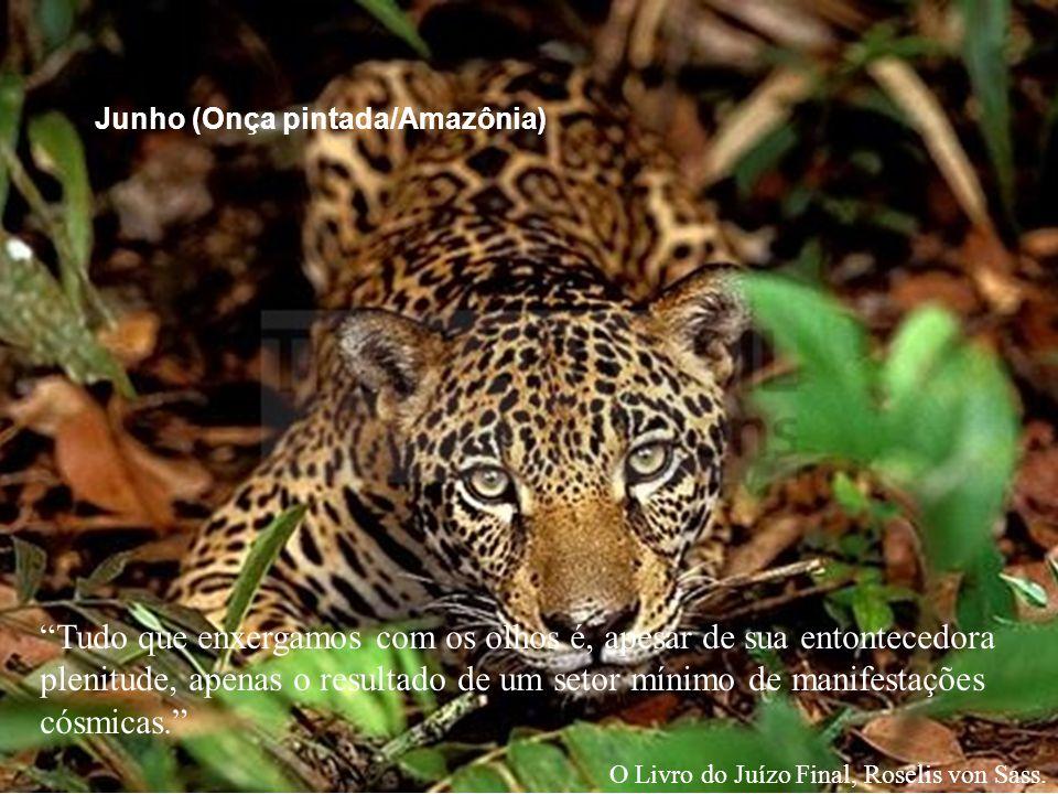 Junho (Onça pintada/Amazônia)