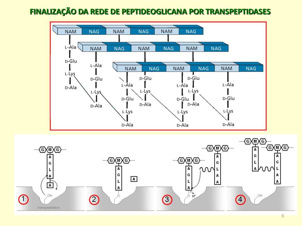 FINALIZAÇÃO DA REDE DE PEPTIDEOGLICANA POR TRANSPEPTIDASES