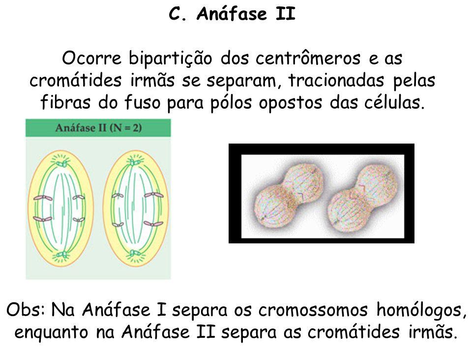 C. Anáfase II Ocorre bipartição dos centrômeros e as cromátides irmãs se separam, tracionadas pelas fibras do fuso para pólos opostos das células.