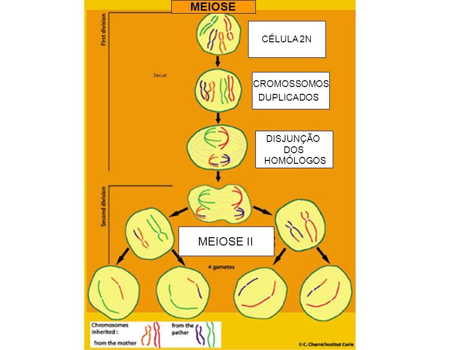 MEIOSE MEIOSE II CÉLULA 2N CROMOSSOMOS DUPLICADOS DISJUNÇÃO DOS