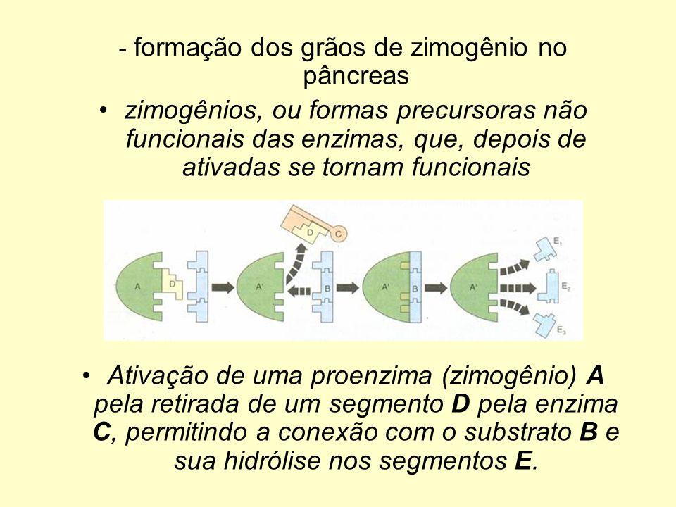 - formação dos grãos de zimogênio no pâncreas