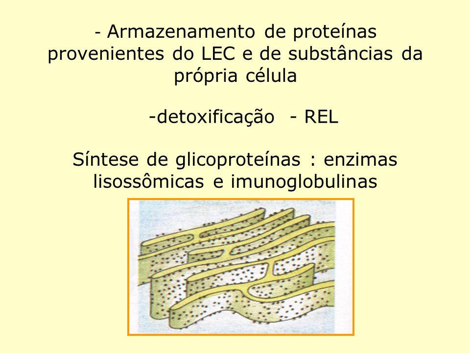 Síntese de glicoproteínas : enzimas lisossômicas e imunoglobulinas