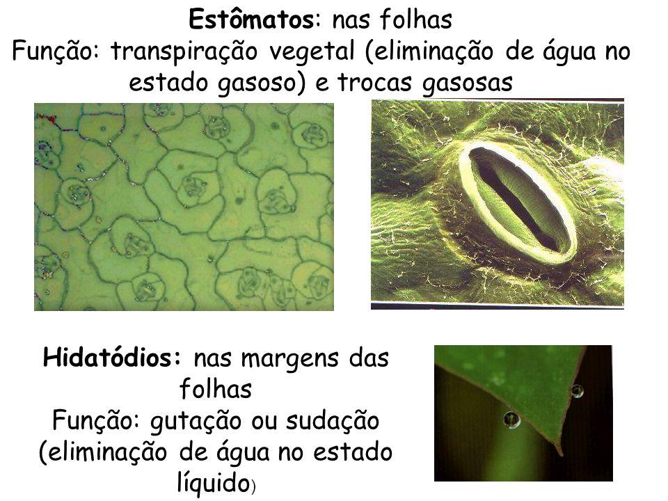 Hidatódios: nas margens das folhas