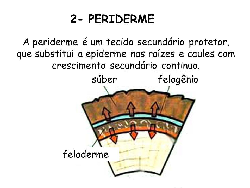 2- PERIDERMEA periderme é um tecido secundário protetor, que substitui a epiderme nas raízes e caules com crescimento secundário continuo.