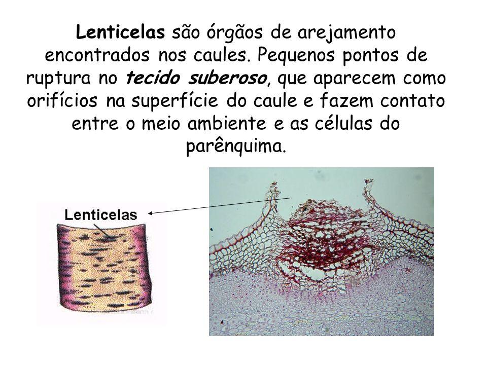 Lenticelas são órgãos de arejamento encontrados nos caules
