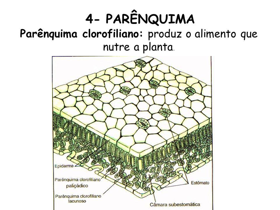 Parênquima clorofiliano: produz o alimento que nutre a planta.