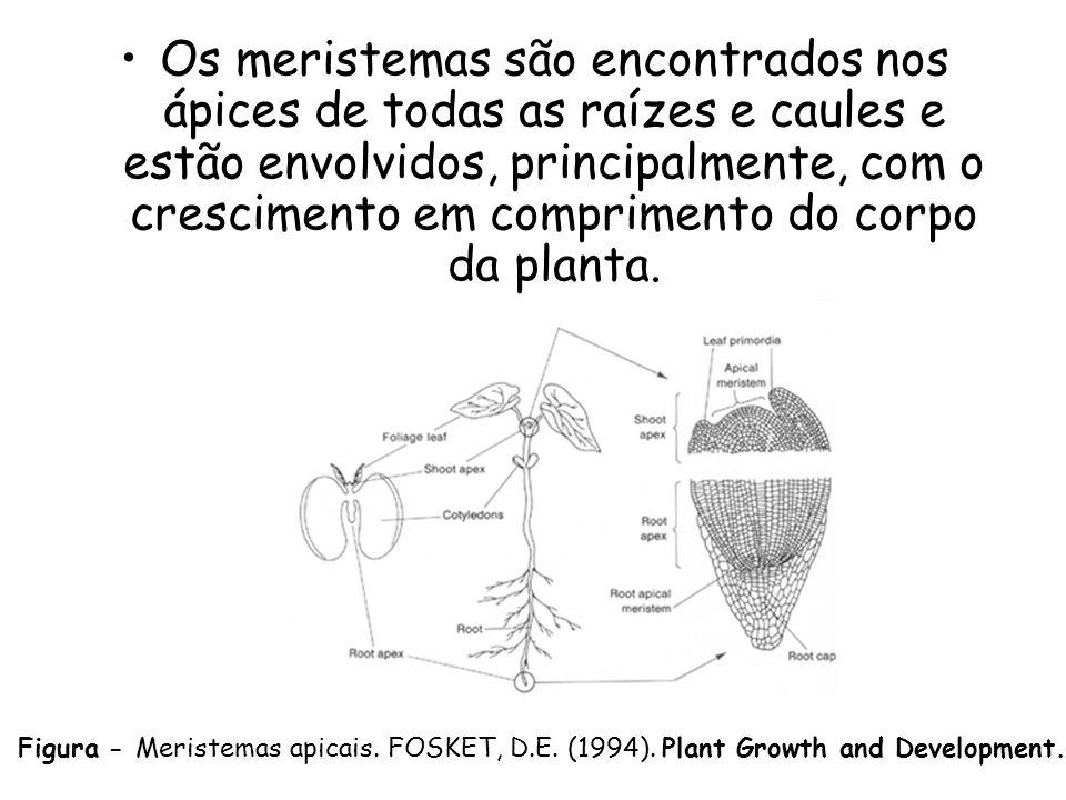 Os meristemas são encontrados nos ápices de todas as raízes e caules e estão envolvidos, principalmente, com o crescimento em comprimento do corpo da planta.