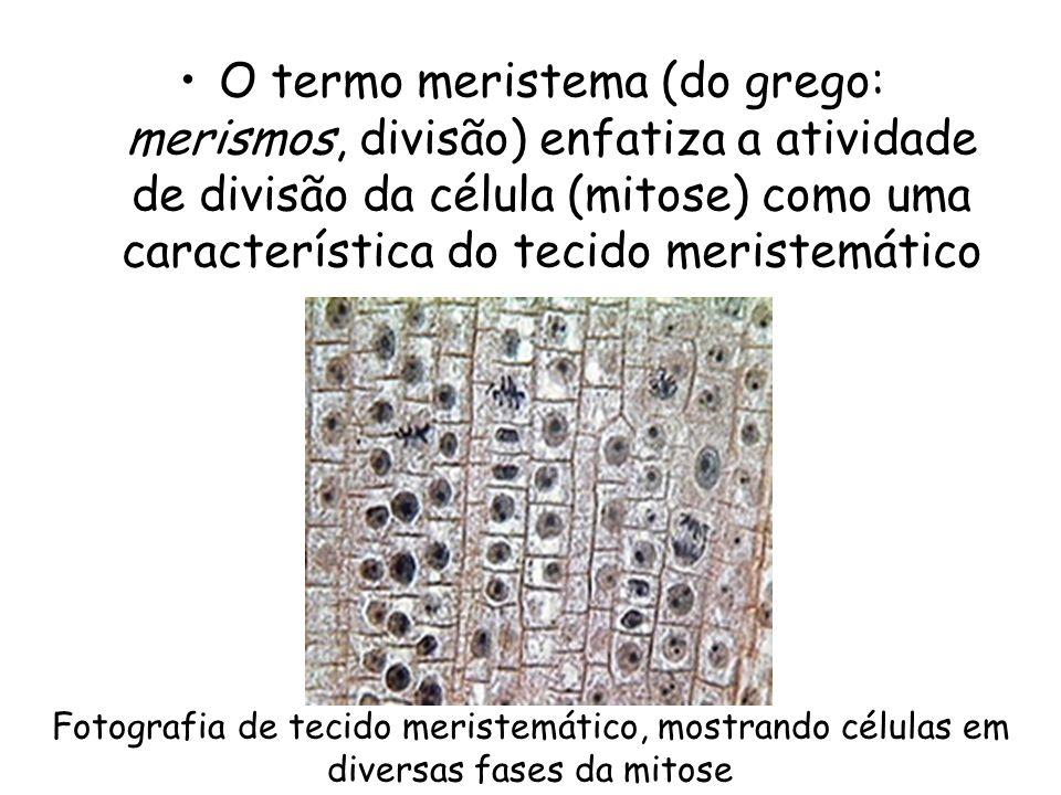 O termo meristema (do grego: merismos, divisão) enfatiza a atividade de divisão da célula (mitose) como uma característica do tecido meristemático