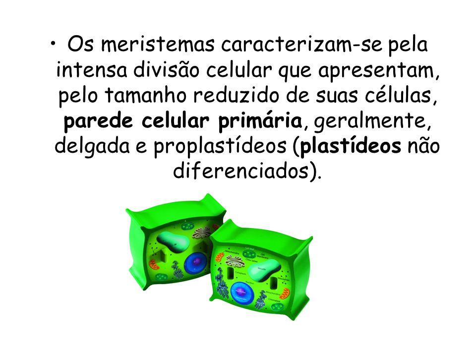 Os meristemas caracterizam-se pela intensa divisão celular que apresentam, pelo tamanho reduzido de suas células, parede celular primária, geralmente, delgada e proplastídeos (plastídeos não diferenciados).