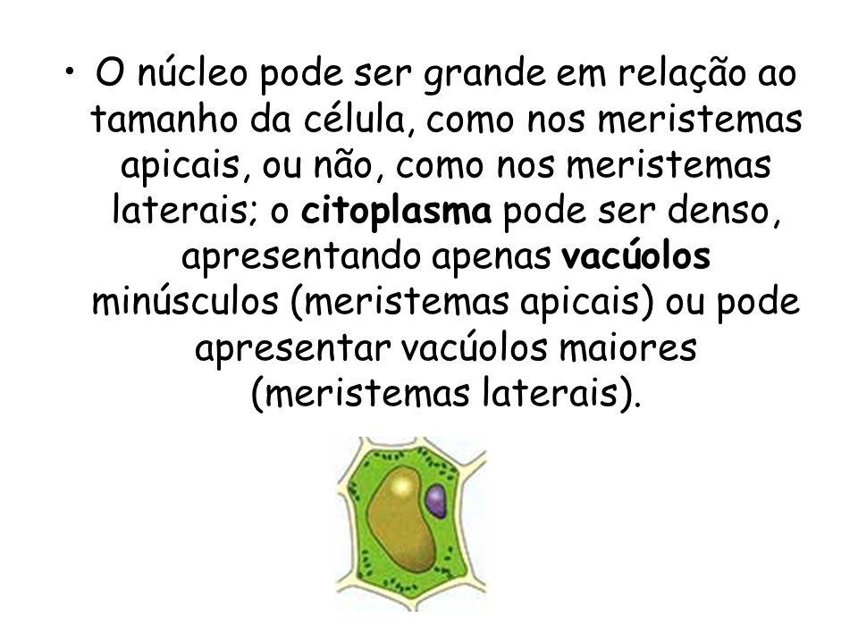 O núcleo pode ser grande em relação ao tamanho da célula, como nos meristemas apicais, ou não, como nos meristemas laterais; o citoplasma pode ser denso, apresentando apenas vacúolos minúsculos (meristemas apicais) ou pode apresentar vacúolos maiores (meristemas laterais).
