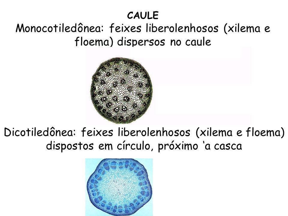 CAULE Monocotiledônea: feixes liberolenhosos (xilema e floema) dispersos no caule.