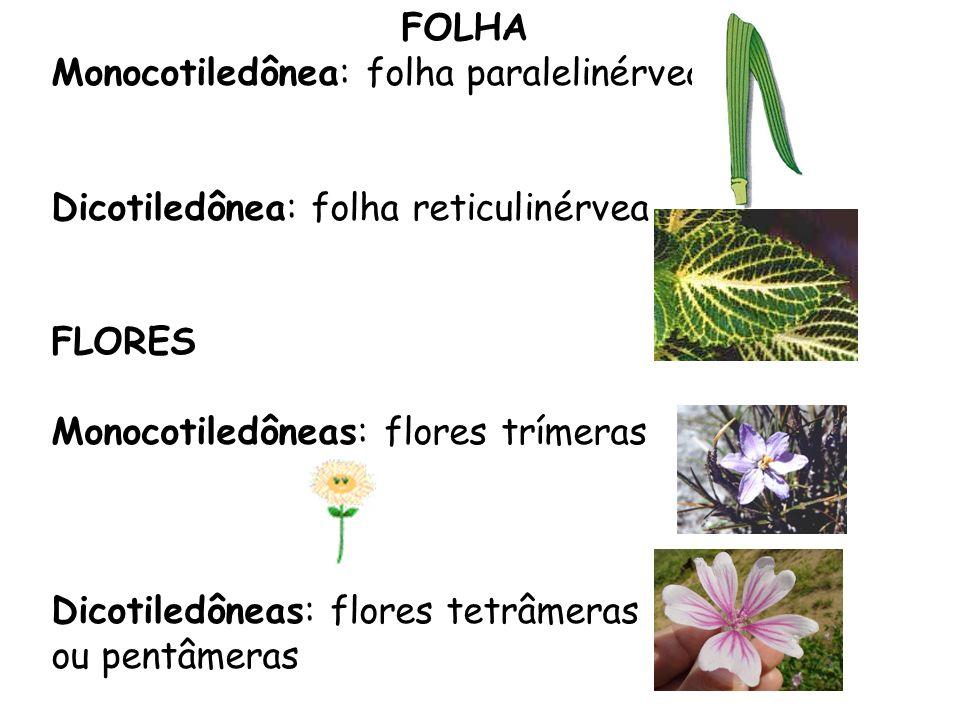 FOLHAMonocotiledônea: folha paralelinérvea. Dicotiledônea: folha reticulinérvea. FLORES. Monocotiledôneas: flores trímeras.