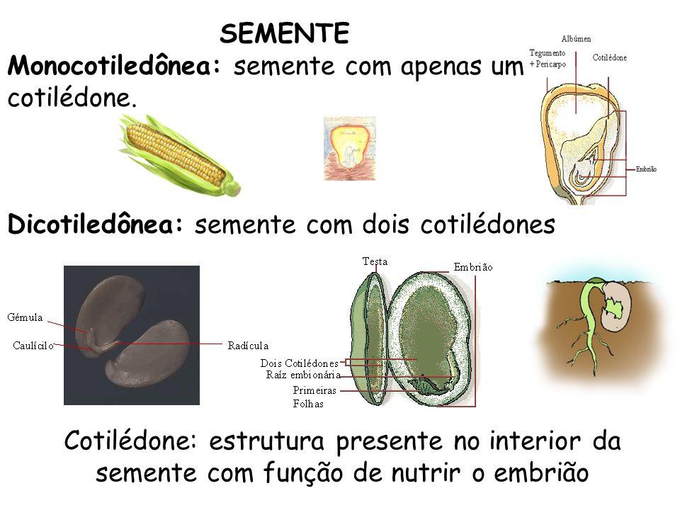 SEMENTEMonocotiledônea: semente com apenas um cotilédone. Dicotiledônea: semente com dois cotilédones.