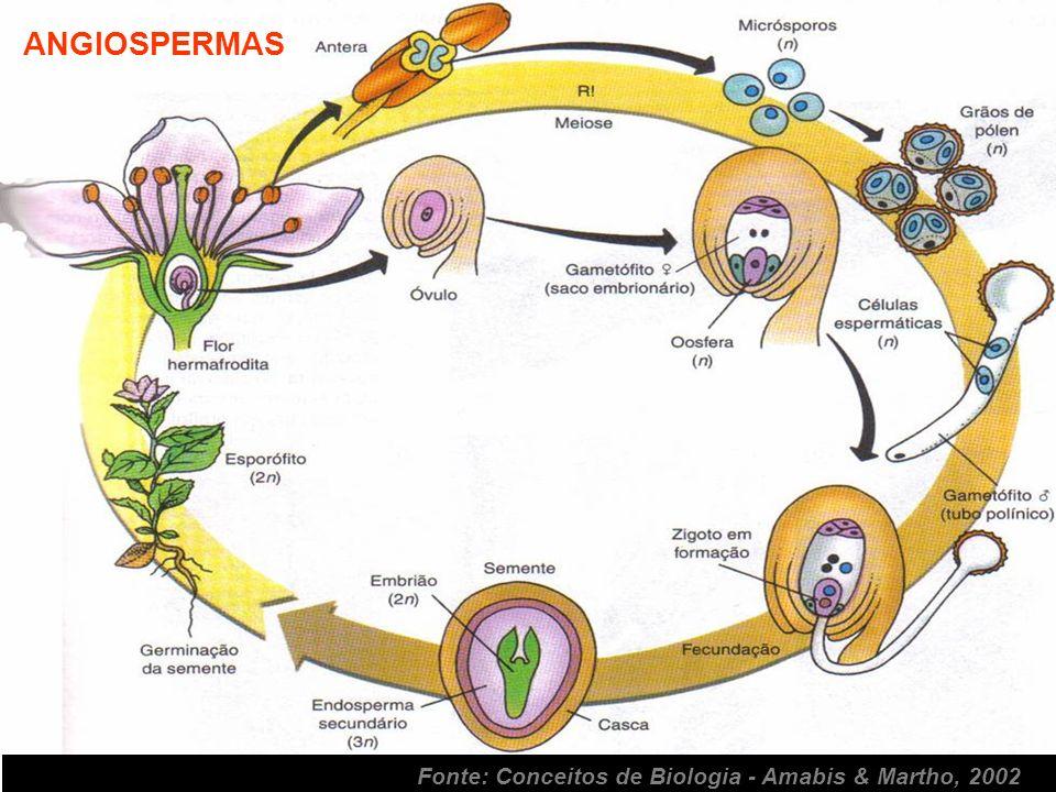 ANGIOSPERMAS Fonte: Conceitos de Biologia - Amabis & Martho, 2002