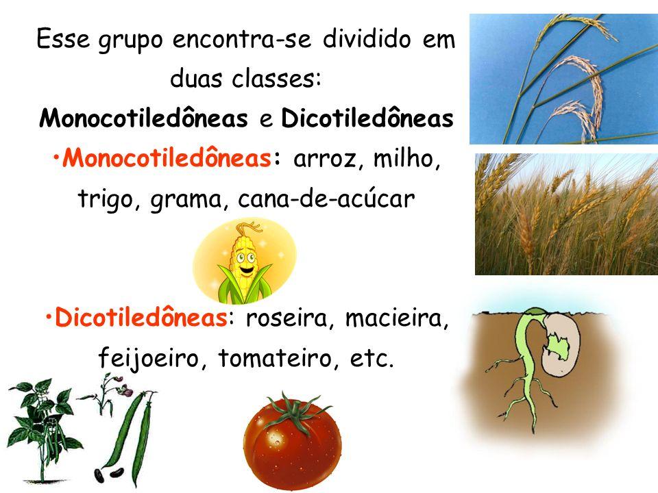 Monocotiledôneas: arroz, milho, trigo, grama, cana-de-acúcar