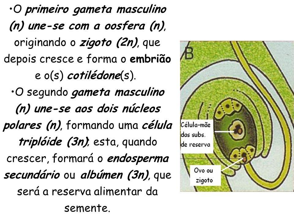 O primeiro gameta masculino (n) une-se com a oosfera (n), originando o zigoto (2n), que depois cresce e forma o embrião e o(s) cotilédone(s).