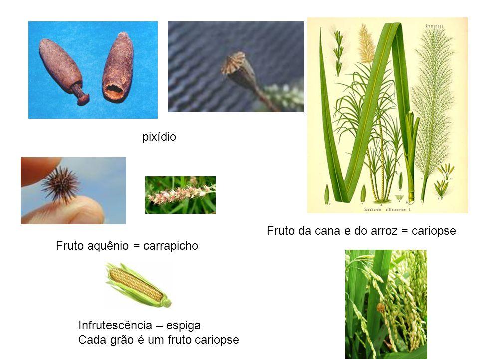 pixídio Fruto da cana e do arroz = cariopse. Fruto aquênio = carrapicho. Infrutescência – espiga.