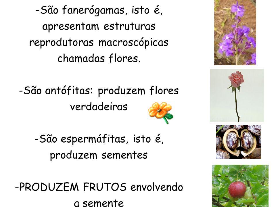 São antófitas: produzem flores verdadeiras