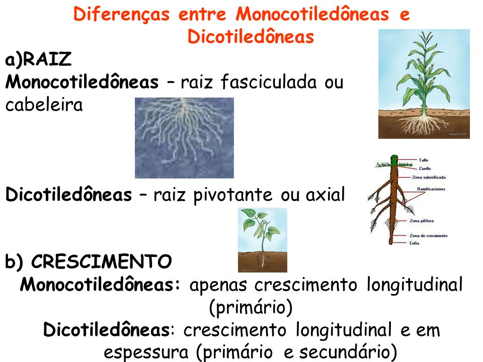 Diferenças entre Monocotiledôneas e Dicotiledôneas