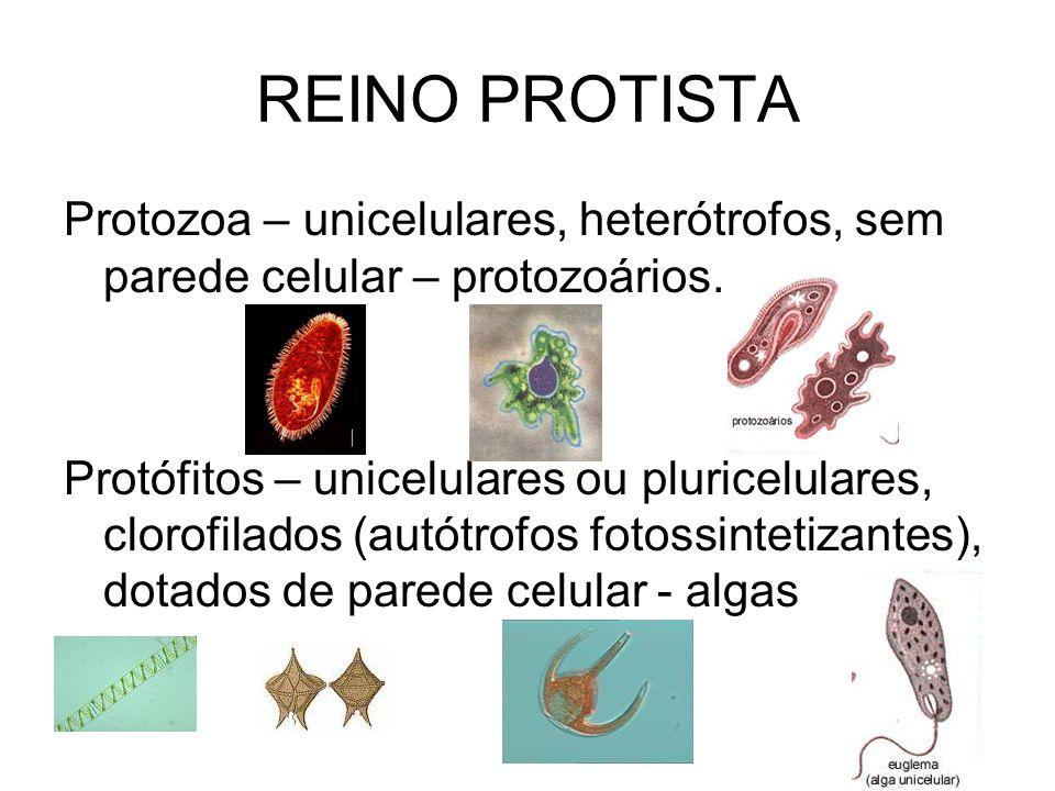 REINO PROTISTA Protozoa – unicelulares, heterótrofos, sem parede celular – protozoários.