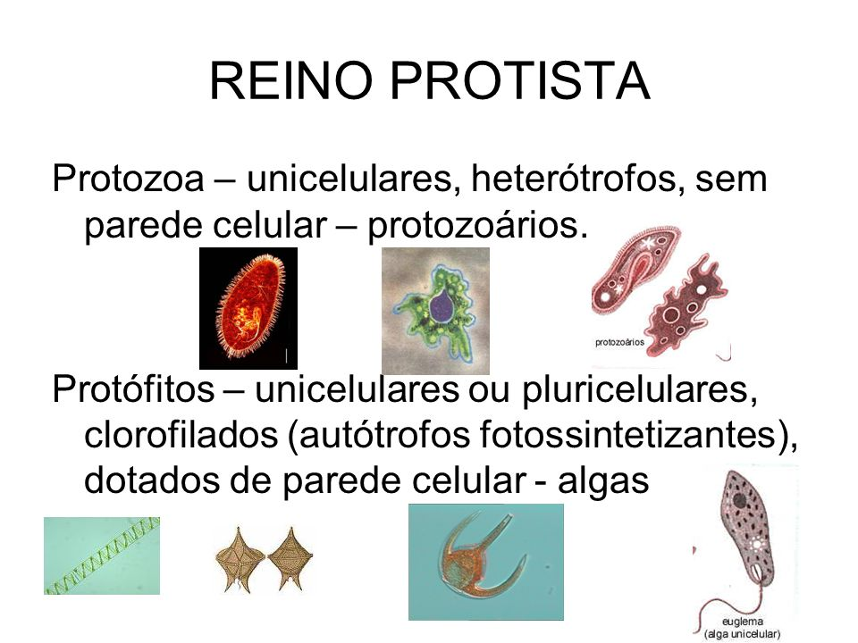 REINO PROTISTAProtozoa – unicelulares, heterótrofos, sem parede celular – protozoários.
