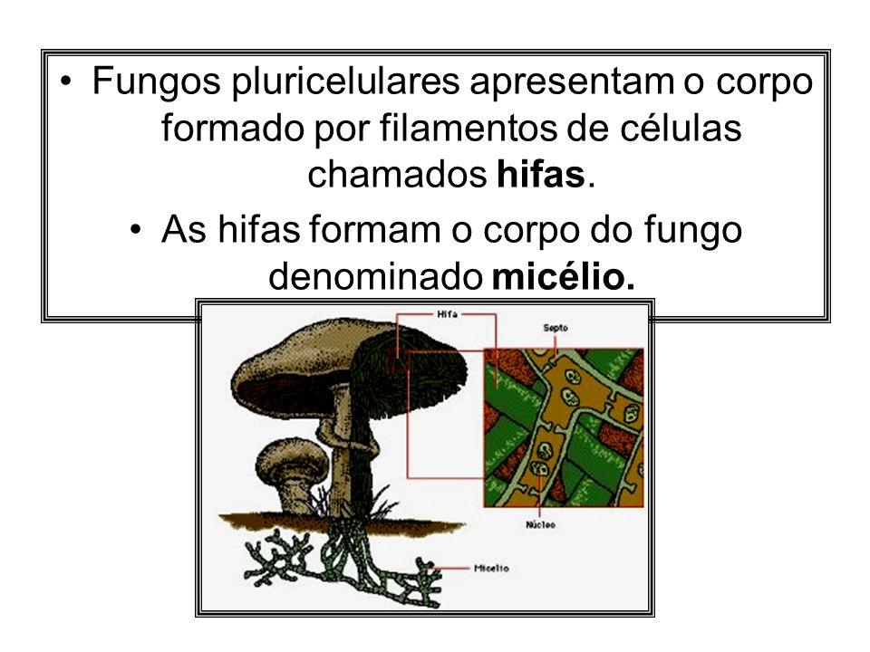 As hifas formam o corpo do fungo denominado micélio.