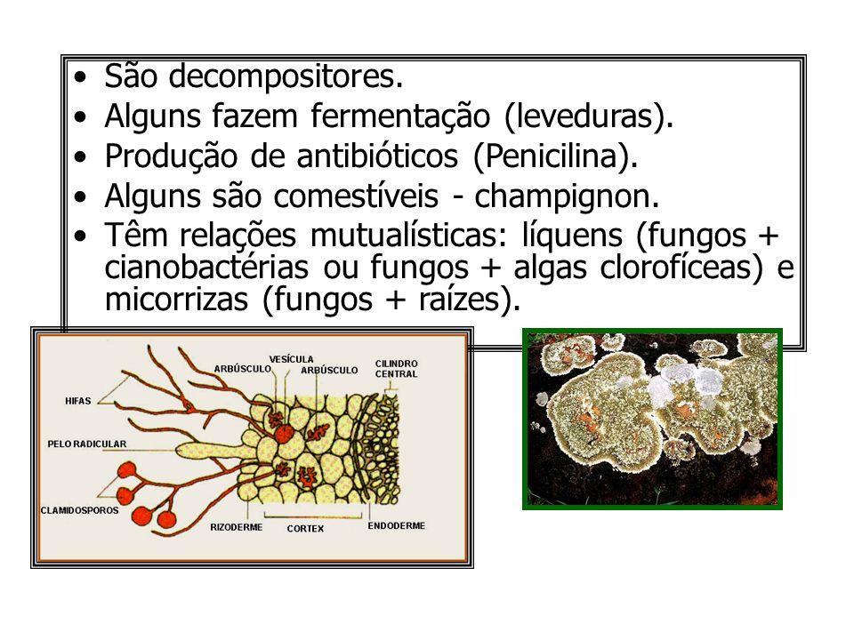 São decompositores.Alguns fazem fermentação (leveduras). Produção de antibióticos (Penicilina). Alguns são comestíveis - champignon.
