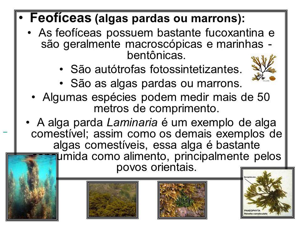 Feofíceas (algas pardas ou marrons):