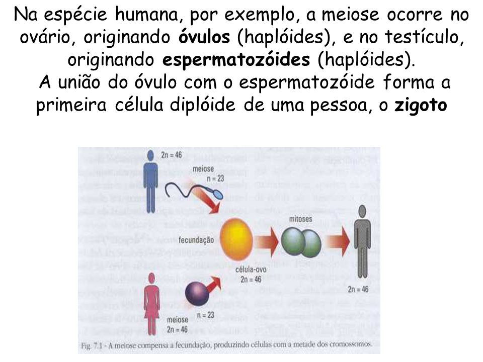 Na espécie humana, por exemplo, a meiose ocorre no ovário, originando óvulos (haplóides), e no testículo, originando espermatozóides (haplóides).