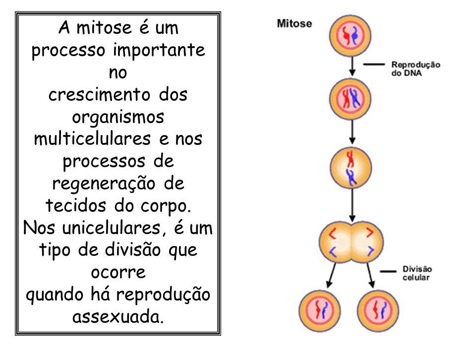 A mitose é um processo importante no