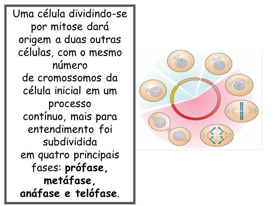 Uma célula dividindo-se por mitose dará
