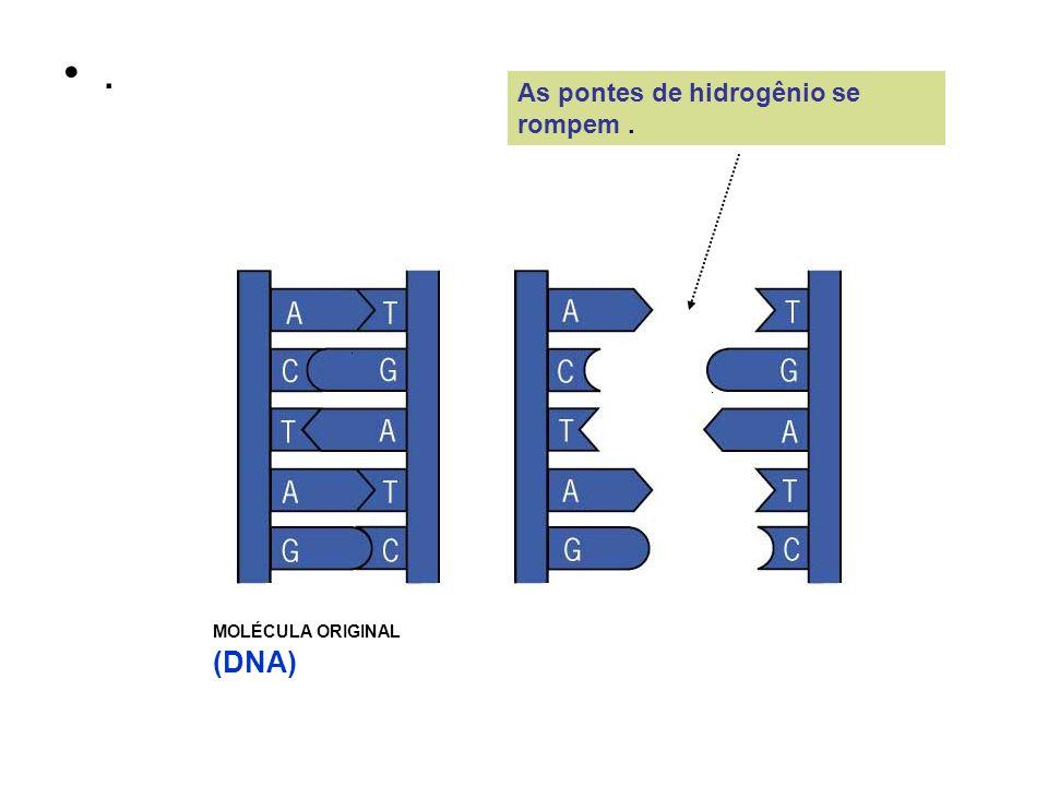 . As pontes de hidrogênio se rompem . MOLÉCULA ORIGINAL (DNA)