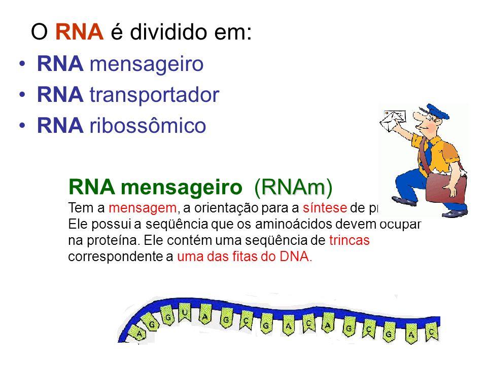 O RNA é dividido em: RNA mensageiro RNA transportador RNA ribossômico