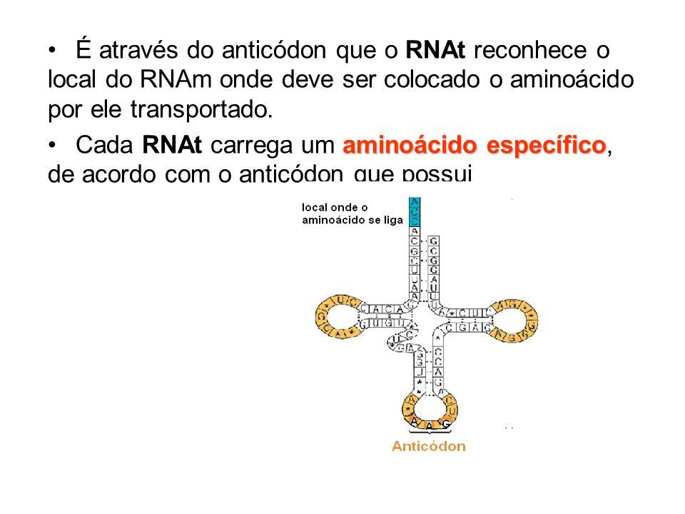 É através do anticódon que o RNAt reconhece o local do RNAm onde deve ser colocado o aminoácido por ele transportado.