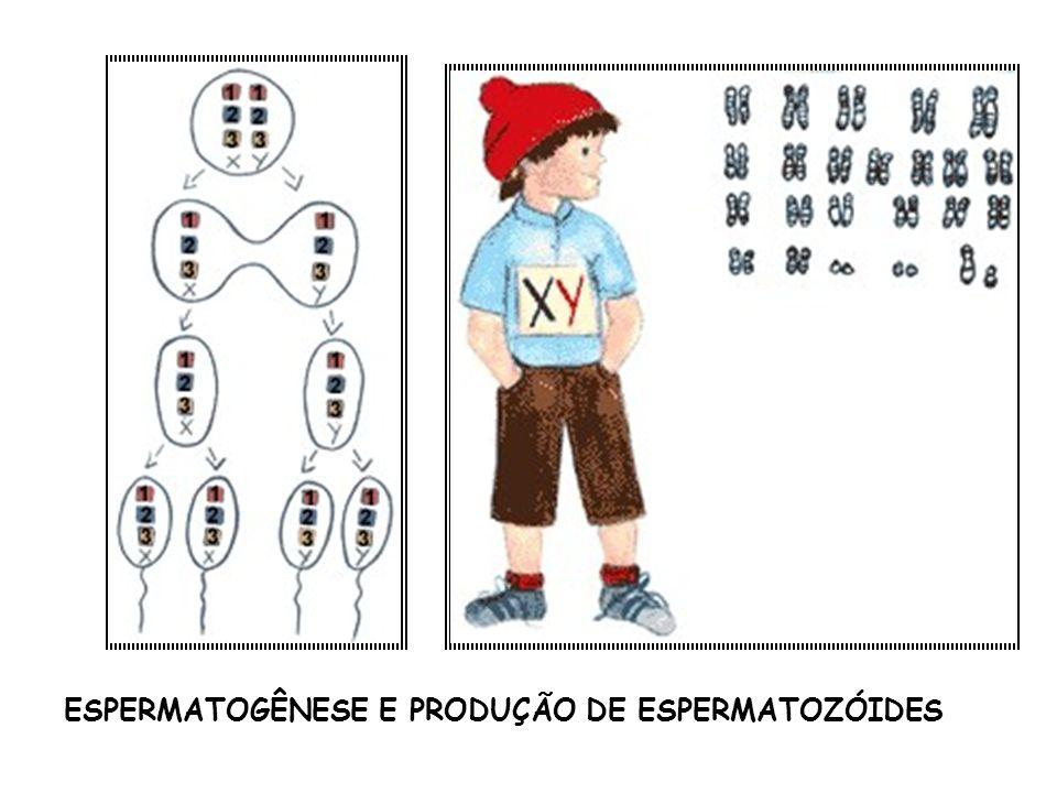 ESPERMATOGÊNESE E PRODUÇÃO DE ESPERMATOZÓIDES