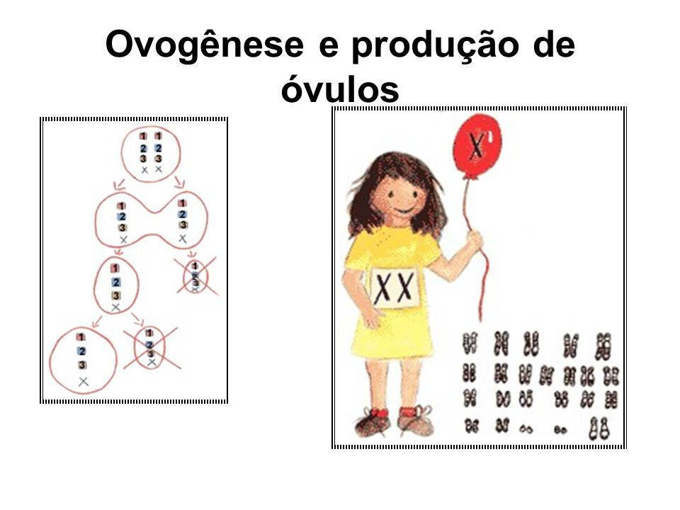 Ovogênese e produção de óvulos