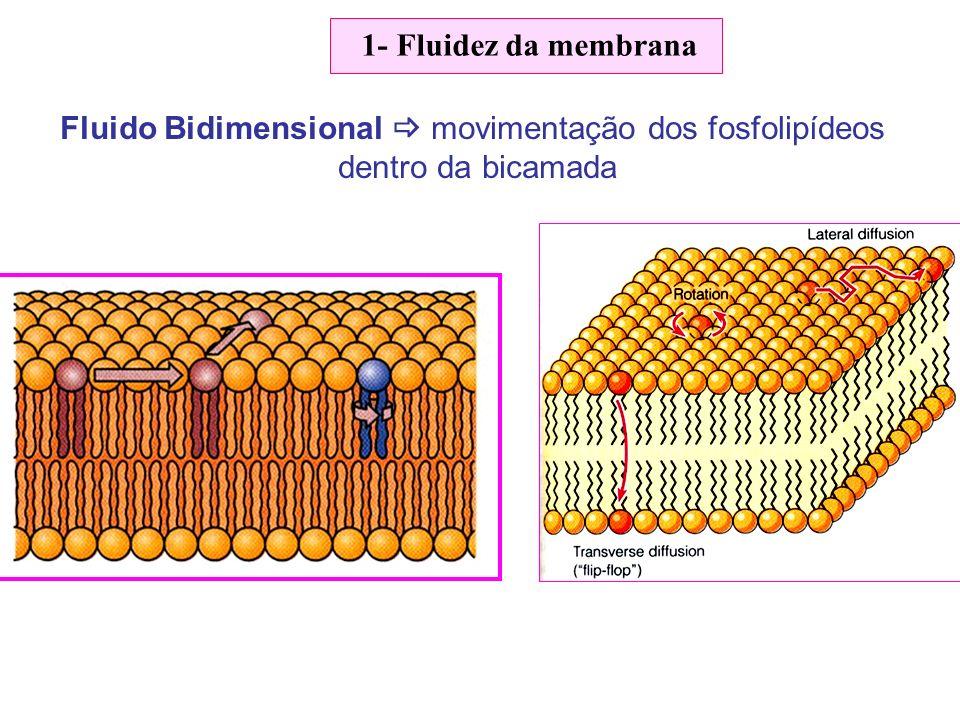 Fluido Bidimensional  movimentação dos fosfolipídeos