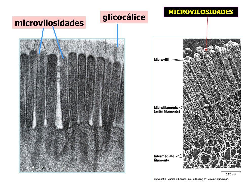 glicocálice microvilosidades