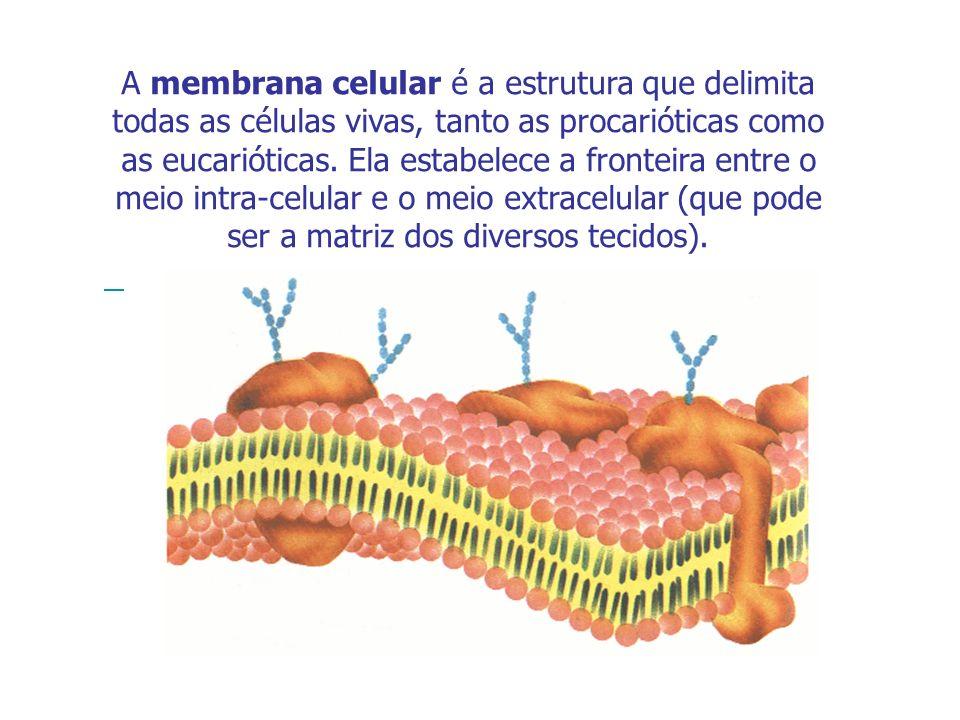 A membrana celular é a estrutura que delimita todas as células vivas, tanto as procarióticas como as eucarióticas. Ela estabelece a fronteira entre o meio intra-celular e o meio extracelular (que pode ser a matriz dos diversos tecidos).