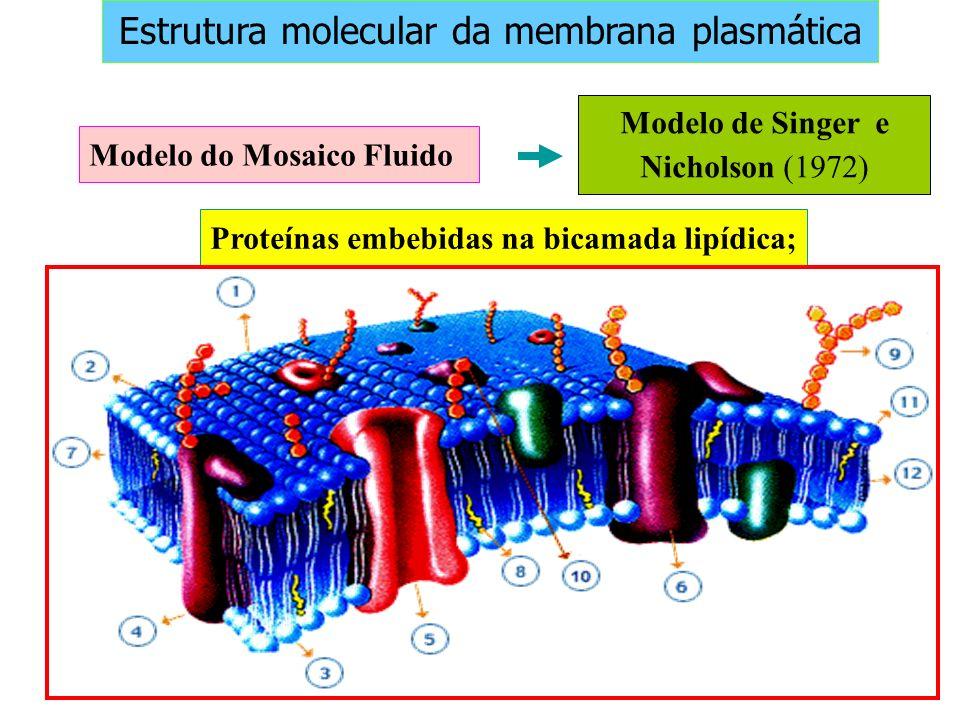 Proteínas embebidas na bicamada lipídica;