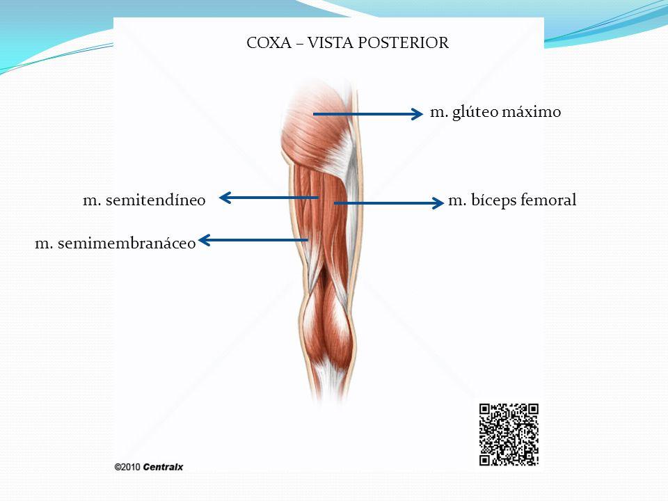 COXA – VISTA POSTERIOR m. glúteo máximo m. semitendíneo m. bíceps femoral m. semimembranáceo
