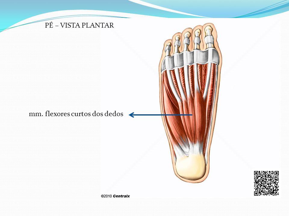 PÉ – VISTA PLANTAR mm. flexores curtos dos dedos