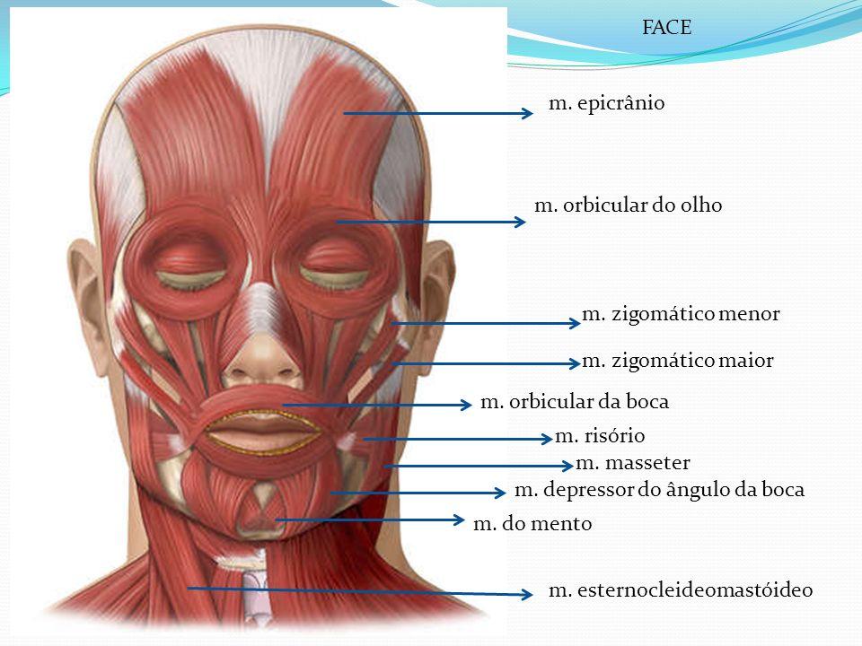 FACE m. epicrânio. m. orbicular do olho. m. zigomático menor. m. zigomático maior. m. orbicular da boca.